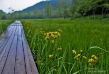 濡れた木道 2015.06.19 飛騨市 池ヶ原湿原にて