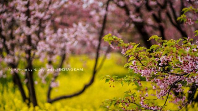 20190330 富山 桜