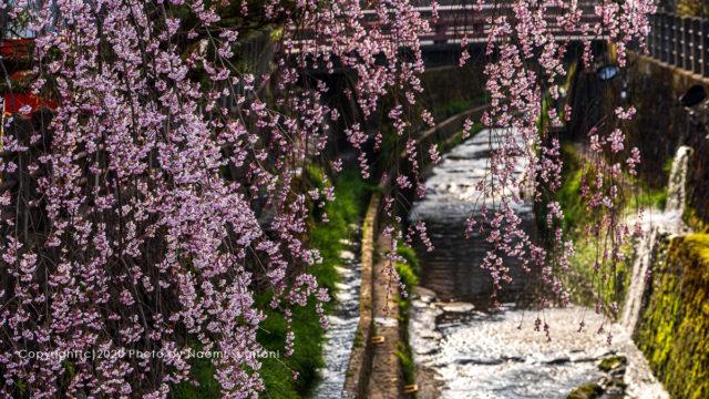 2020.04.12 飛騨高山 桜
