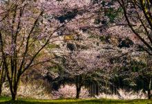20200416飛騨の桜