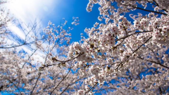 2015年4月4日の関市・美濃市・郡上八幡をアップ